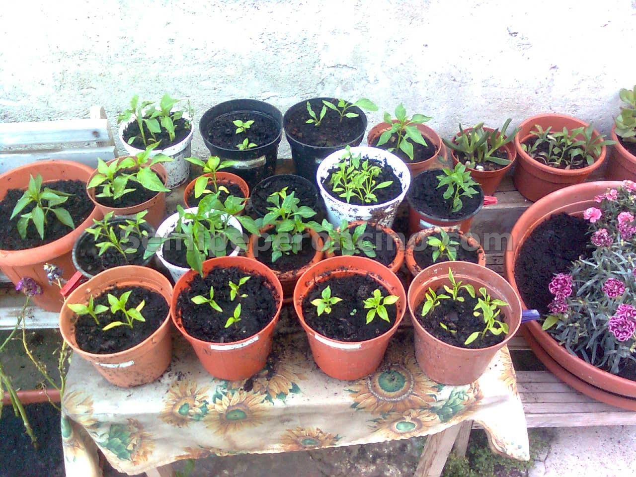 Peperoncino dalla semina alla raccolta piante affini for Vasi per semina