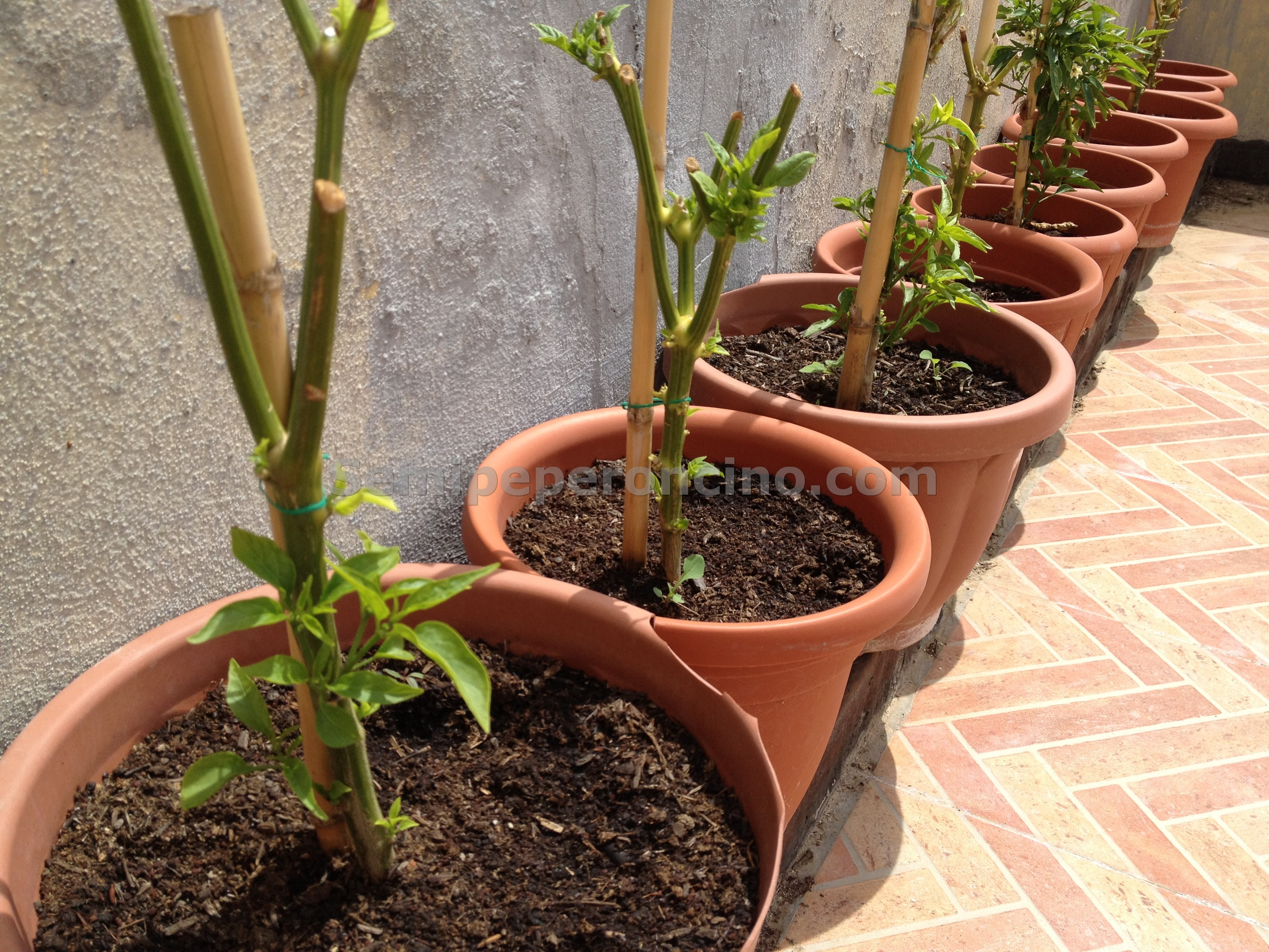 Peperoncini la guida completa sulla coltivazione del - Rami secchi decorativi dove comprarli ...